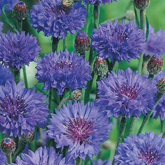 Cornflower Blue Ball Flower Seeds