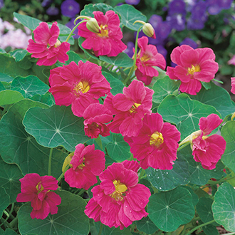 Nasturtium Jewel Cherry Rose Flower Seeds