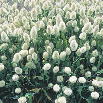 Grasses Lagurus ovatus Bunnys Tails Seeds
