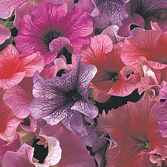 Petunia (Grandiflora) Daddy Mixed F1 Flower Seeds
