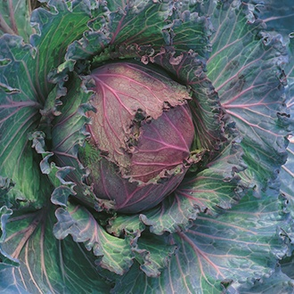 Cabbage (Savoy) January King 3 Seeds