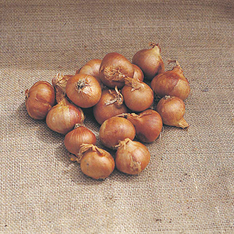 Ambition F1 Shallot Seeds