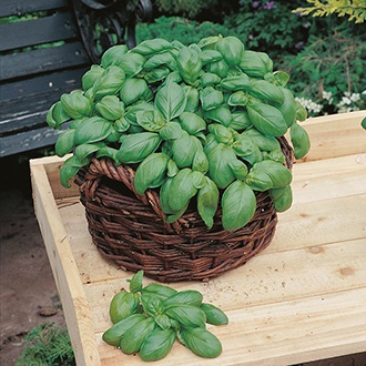 Organic Basil Sweet Herb Seeds
