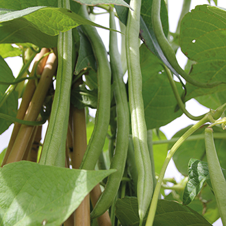French Bean (Climbing) Cobra AGM Seeds