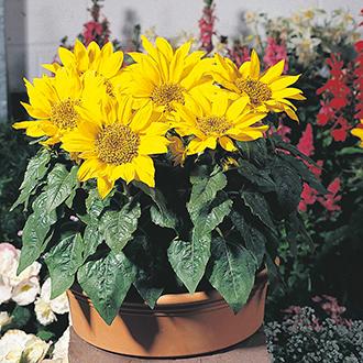 Sunflower Pacino Flower Seeds