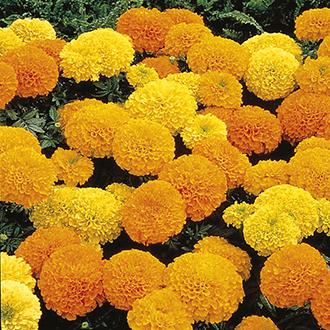 Marigold (African) Inca II F1 Series - Formula Mixed Flower Seeds