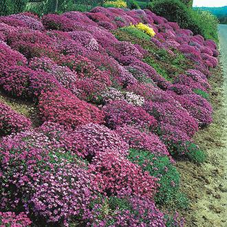 Aubrieta Cascade Hybrids Mixed Flower Seeds
