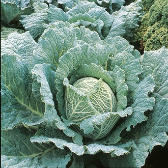 Cabbage (Savoy) Savoy King F1 Seeds
