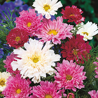 Cosmos Double Click Flower Seeds