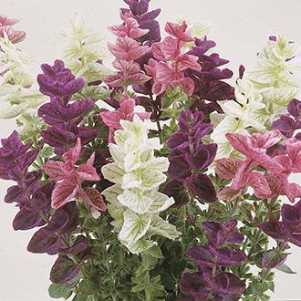 Clary Tricolour Choice Mixed Flower Seeds
