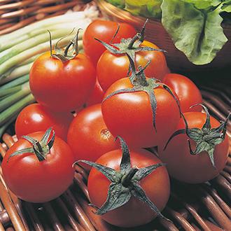 Tomato Moneymaker (Medium) Veg Plants