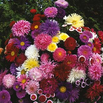 Aster (Tall) D.T. Brown Cut Flower Mixed Flower Seeds