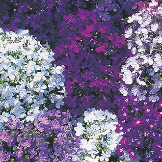 Lobelia (Edging Variety) Riviera Mixed Flower Seeds