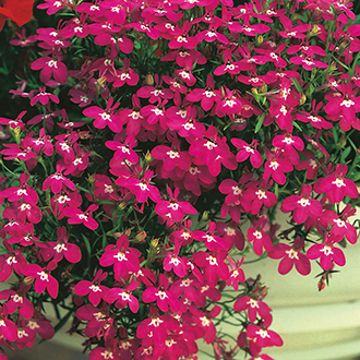 Lobelia (Edging Variety) Rosamond Flower Seeds