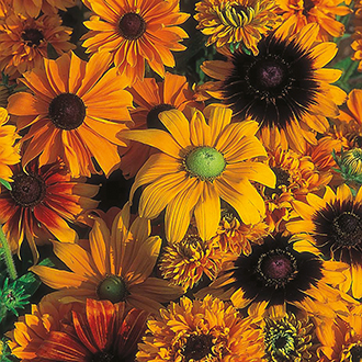 Rudbeckia D.T. Brown Cutting Mixed Flower Seeds
