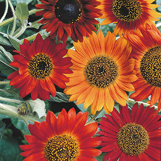 Sunflower (Tall) Earthwalker Flower Seeds