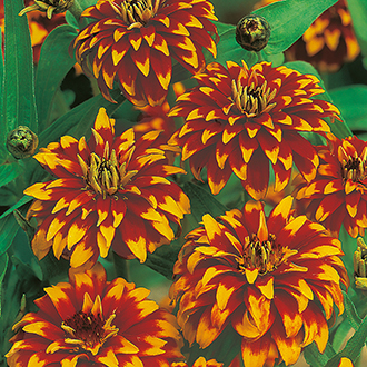Zinnia Haageana Old Mexico Flower Seeds