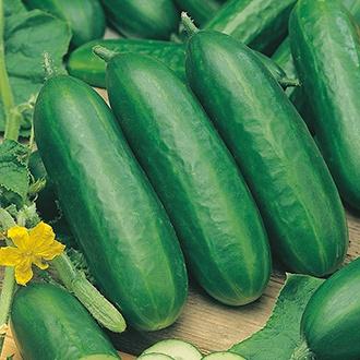 Cucumber (Indoor) Socrates F1 AGM Seeds