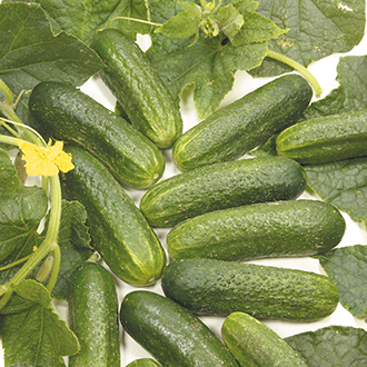 Cucumber (Outdoor Pickling) Diamant Seeds