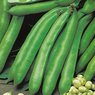 Broad Bean Green Windsor Seeds