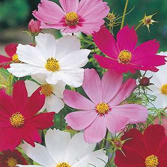 Cosmos Sensation Mixed Flower Seeds