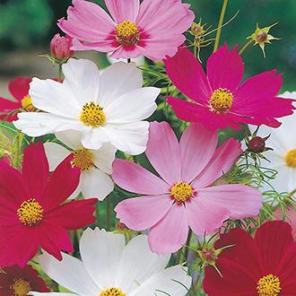 Cosmos Sensation Mixed Flower Seeds