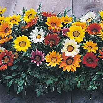 Gazania New Day Mix F1 Flower Seeds