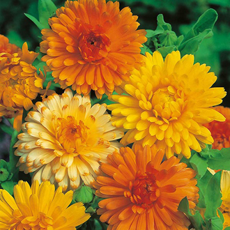Calendula Art Shades Flower Seeds