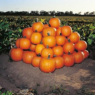 Pumpkin Jack of All Trades Seeds