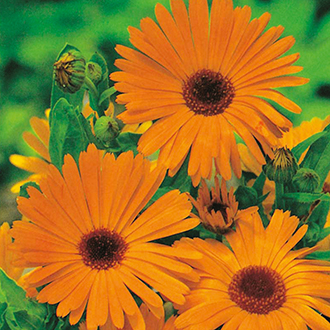 Calendula Pot Marigold Flower Seeds