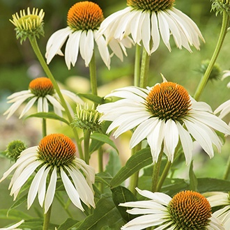 Echinacea White Swan Flower Seeds
