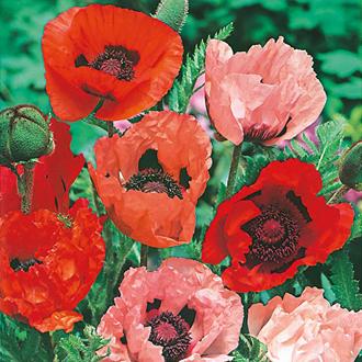 Poppy  Oriental Mixed Seeds