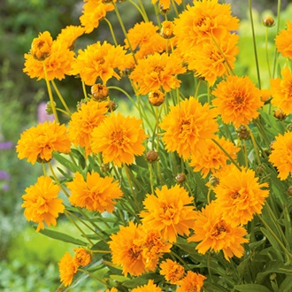 Coreopsis Early Sunrise Flower Seeds