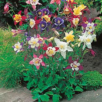 Aquilegia McKana Hybrids Flower Seeds