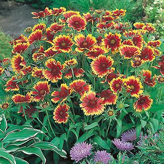 Gaillardia Goblin Flower Seeds