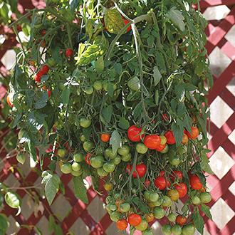 Tomato Tumbling Tom Red Seeds