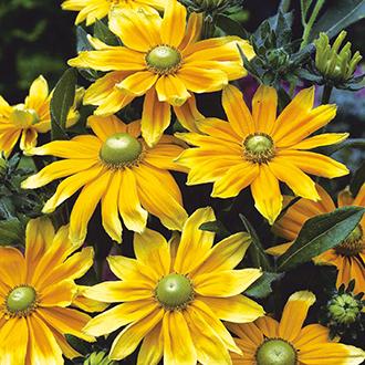 Rudbeckia Prairie Sun Flower Seeds