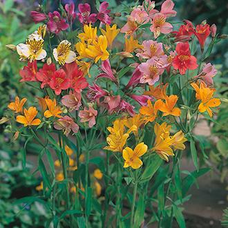 Alstroemeria Ligtu Hybrids Flower Seeds
