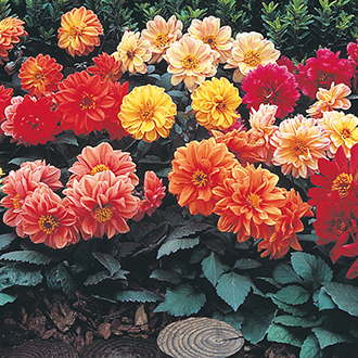 Dahlia Diablo Mixed Flower Seeds