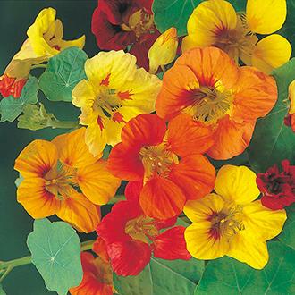 Nasturtium Trailing Mixed Flower Seeds