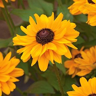 Rudbeckia Toto AGM Flower Seeds