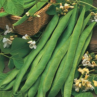 Bean (Butterbean) Czar Seeds