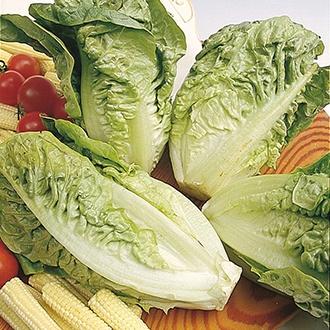 Lettuce Little Gem Delight AGM Seeds