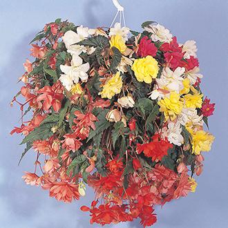Begonia Illumination Mixed F1 Flower Seeds