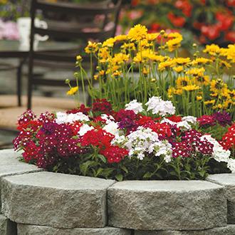 Verbena Quartz Mixed F1 Flower Seeds