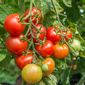 Tomato Shirley F1 AGM Seeds