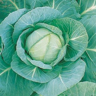 Cabbage Minicole F1 AGM Seeds