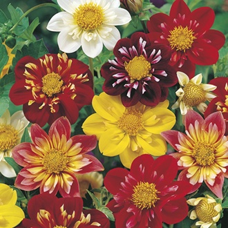 Dahlia Collarette Dandy Mixed Flower Seeds