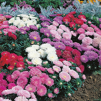 Aster (Dwarf) Milady Mixed Flower Seeds