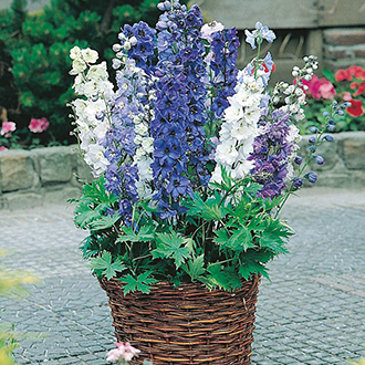 Delphinium Fountains Mixed Flower Seeds